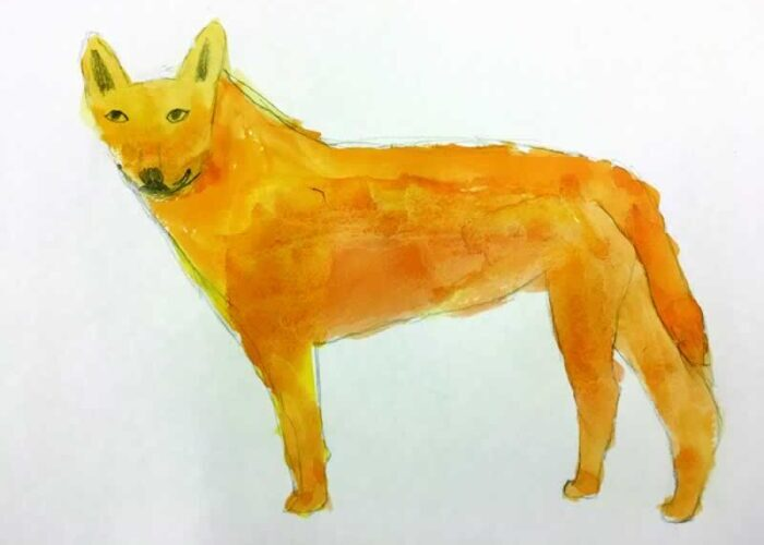 Watercolour painting of a dingo