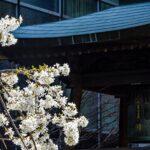 White blossoms near pagoda